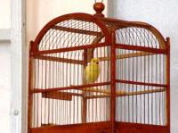 пение певчих птиц кенaр