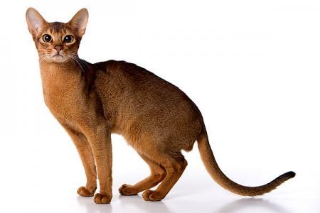 Абиссинские кошки